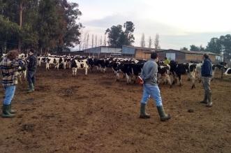 vacas a china sofo